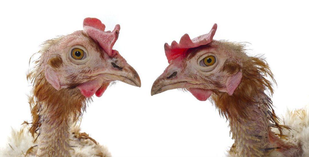"""Las gallinas decrépitas: la comida para """"los de abajo"""" no es la misma que la de """"los de arriba"""""""